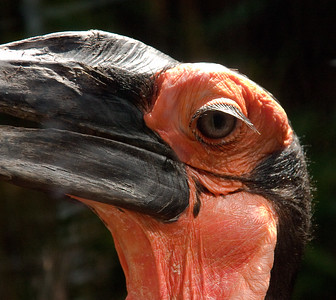 Hornbill, Colchester Zoo