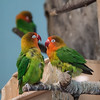 Fisher's Lovebird