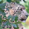 Big Cat Sanctuary (Snow Leopard)