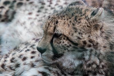 Southern Cheetah (Willow)