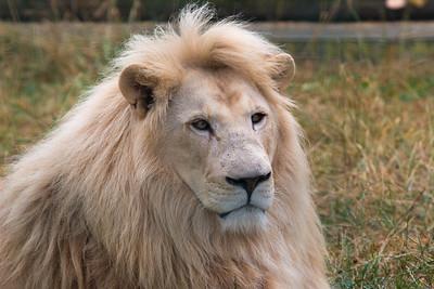 White Lion (Ngozi)