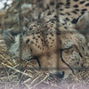 Southern Cheetah (Murphy)