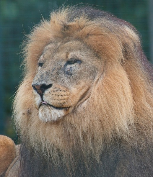 Big Cat Sanctuary (Lion)