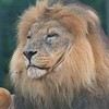 Big Cat Sanctuary (Lion)