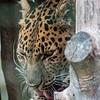 Amur Leopard (Artur)