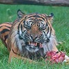 Big Cat Sanctuary (Nias, Sumatran Tiger)