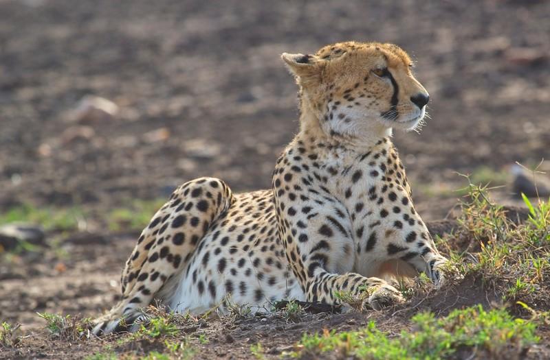 Cheetah, Naboisho Conservancy