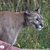 Puma (Yazhi)
