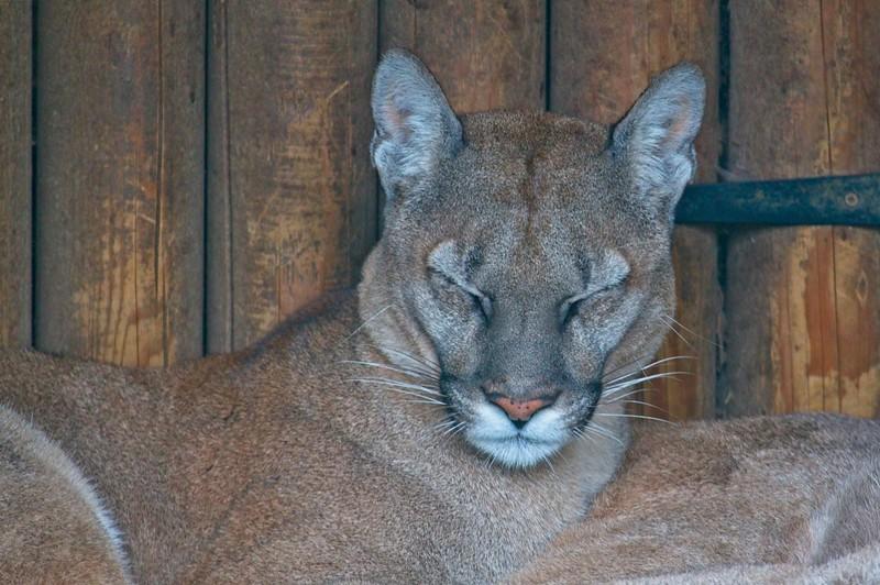 Big Cat Sanctuary (Viktoria and Valentina, Cougar/Puma)