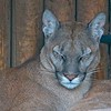 Big Cat Sanctuary (Viktoria and Valentina, Cougar/Puma)