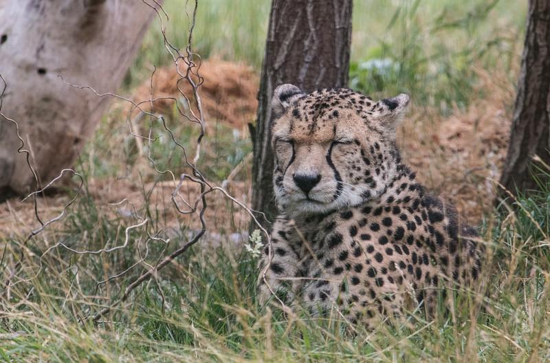 Southern Cheetah (Bajrami)