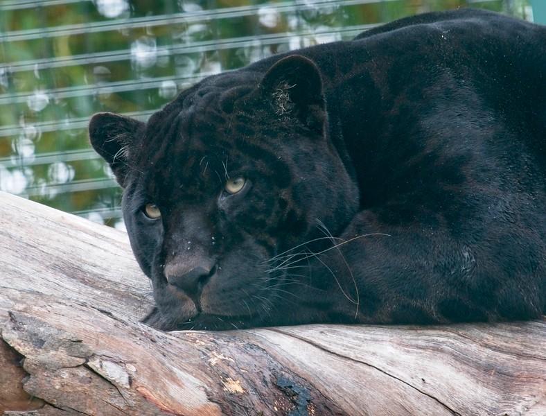 Big Cat Sanctuary (Mya, Black Panther)
