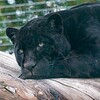 Big Cat Sanctuary (Mya, Black Panther)