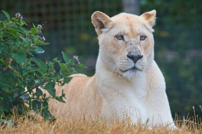 Big Cat Sanctuary (White Lions)