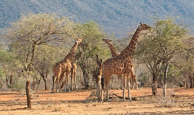 Reticulated Giraffe, Namunyak Conservancy