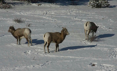Mountain Sheep, Saskatchewan River Crossing, Alberta
