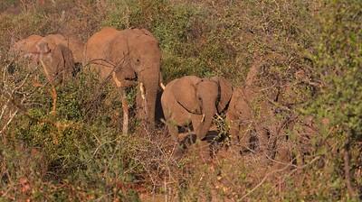 Elephant herd, Namunyak Conservancy