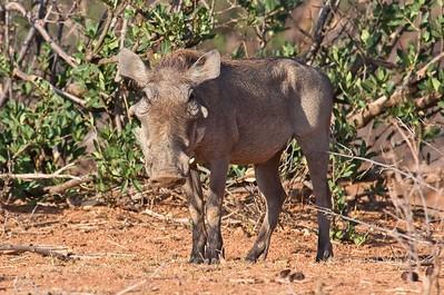 Warthog, Namunyak Conservancy