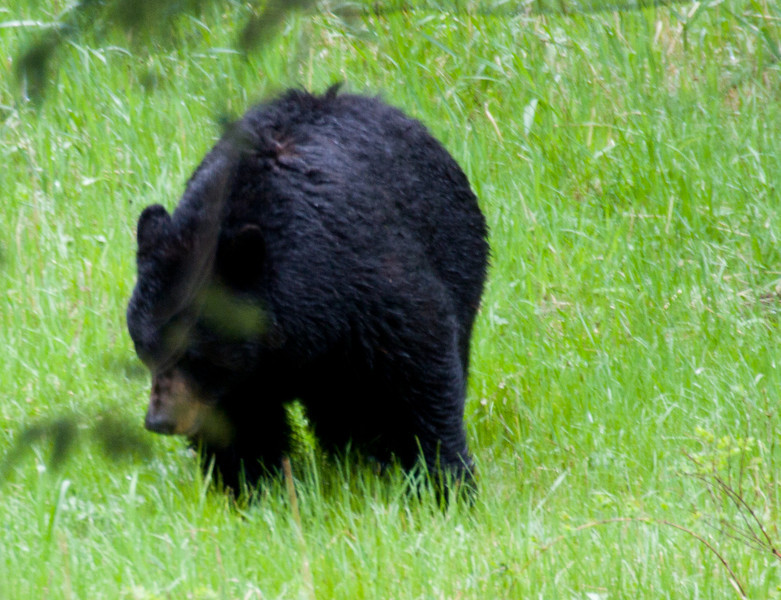 Black Bear near Tower-Roosevelt junction