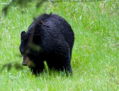 Black Bear near Tower-Roosevelt junction