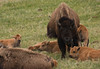 Bison Cows and Calves, Lamar