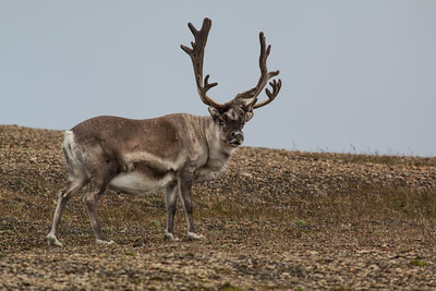 Svarlbard Reindeer, Kapp Lee