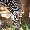 Grevy's Zebra, Sarara  Camp
