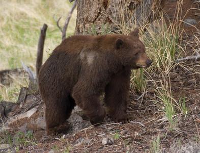 Cinnamon Black Bear, near Lamar River Bridge