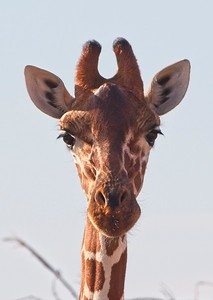 Giraffe, Namunyak Conservancy