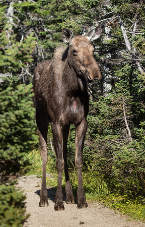 Moose on the Skyline Trail