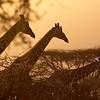 Journey of Giraffe at sundown