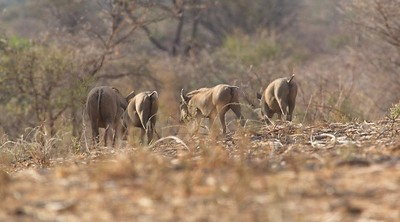 Warthogs, Tails-Up, Namunyak Conservancy