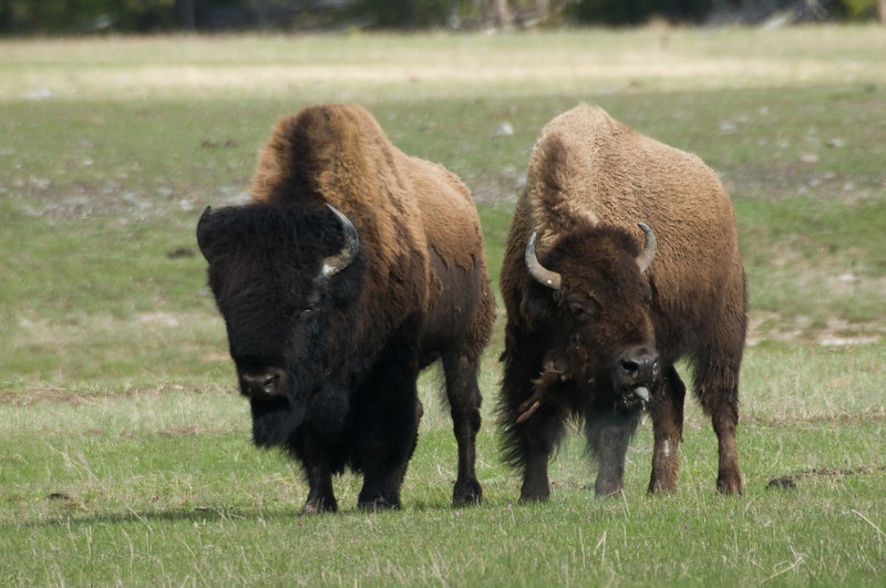 Bison, Fountain Flat