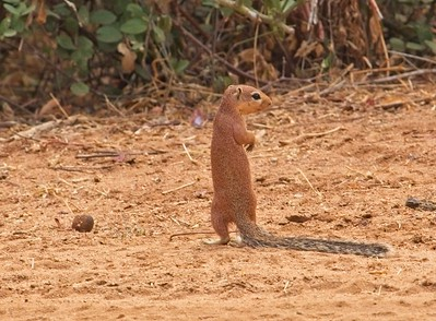 Unstriped Ground Squirrel