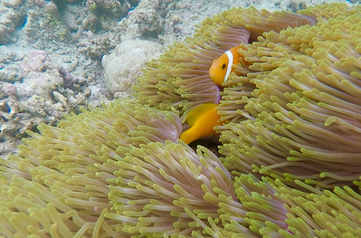 Anenomes and Maldives anenomefish