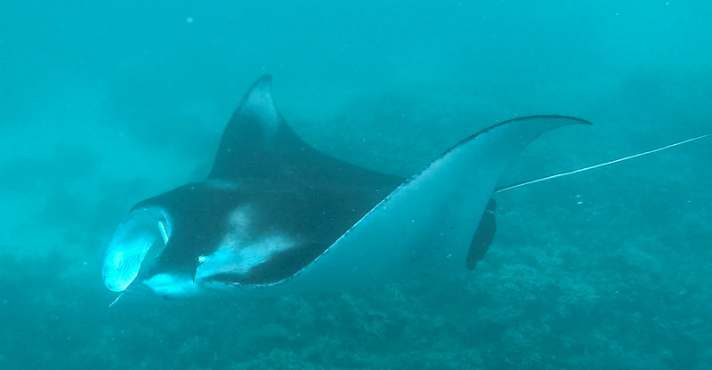 Manta Ray at Maavaru