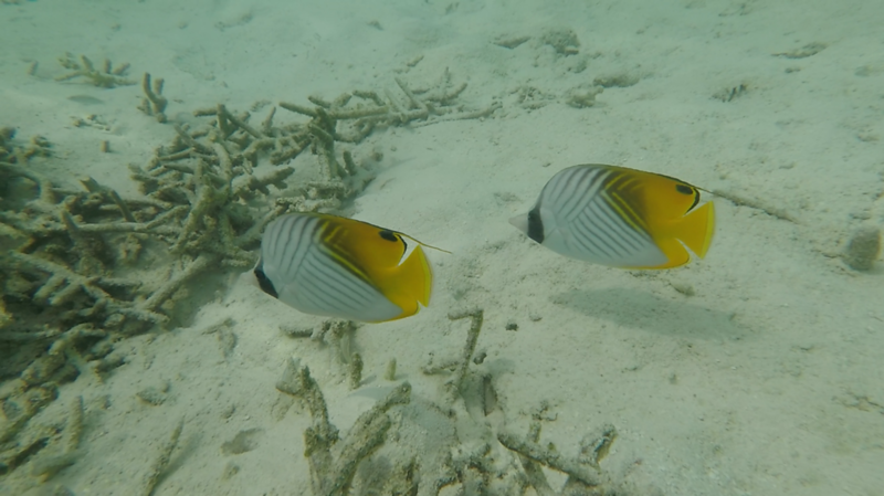 Threadthin butterflyfish