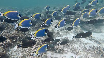 Powderblush Surgeonfish