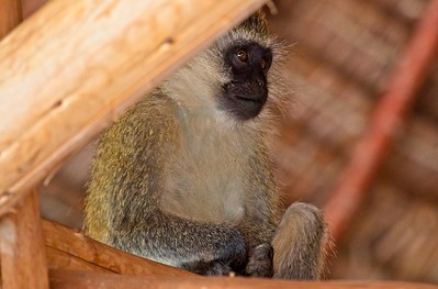 Black-faced Vervet Monkey, Sarara  Camp
