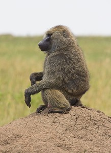 Olive Baboon, Massai Mara National Park