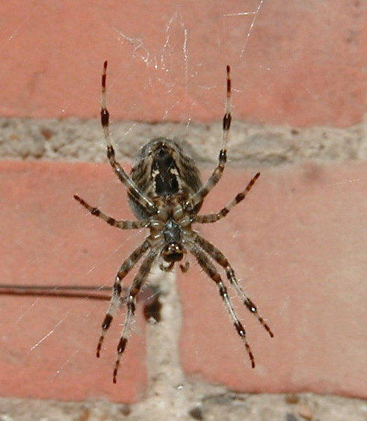 Spider, Burghfield Common