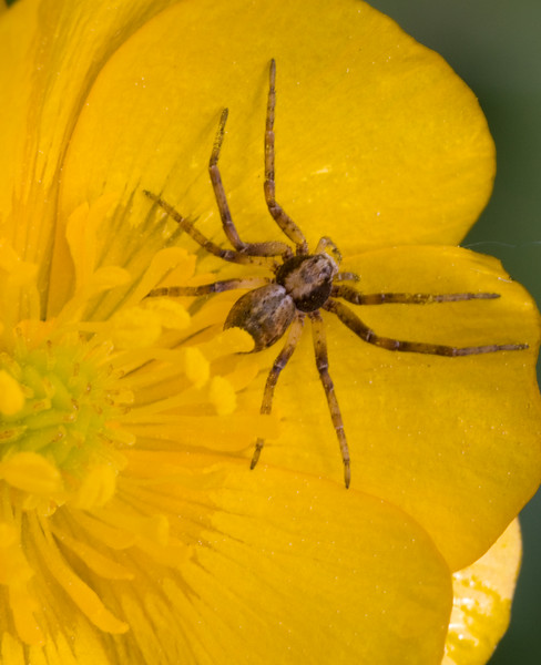 Buttercup Spider