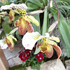 Orchid Show and Sale, Powell Gardens, 30 miles east of Kansas City, MO.  March 14, 2009<br />  paphiopedilum, lady slipper