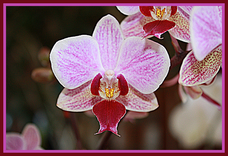 Orchids on display at Powell Gardens,30 miles east of Kansas City, 20 miles west of Warrensburg, Missouri Feb. 5, 2009