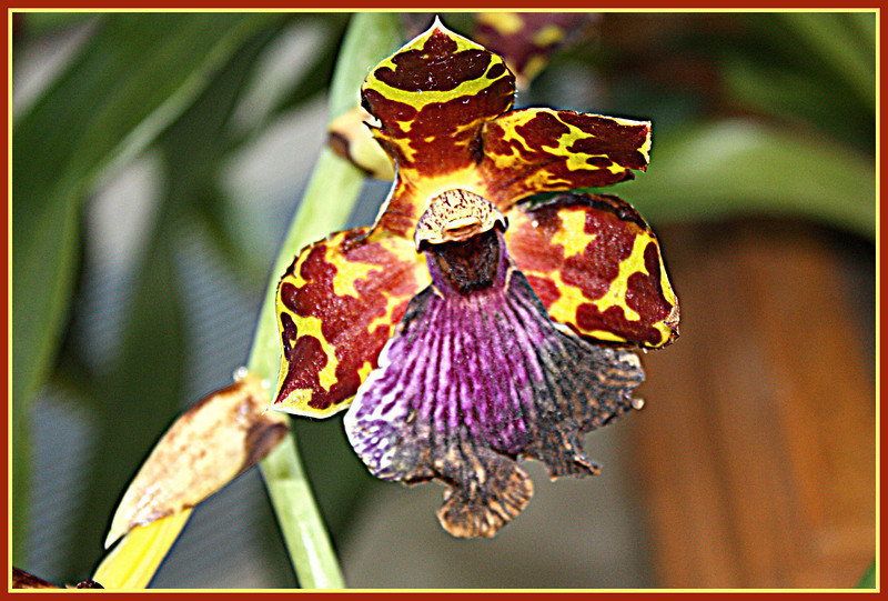 A spectacularly different orchid, unknown, blooming outside the conservatory at Powell Gardens, near Kansas City, MO.  Jan. 2, 2009