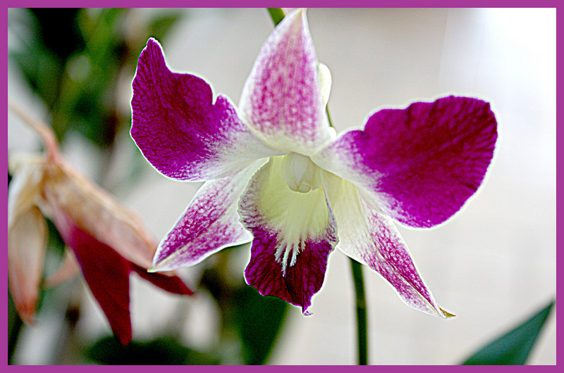 The striking purple, white and greenish yellow orchid growing just outside the conservatory door at Powell Gardens.  One of many orchids on display.  Jan. 2, 2009