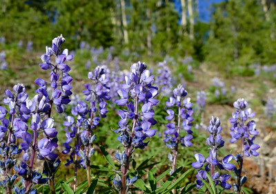 Wild Lupine in the spring sunshine