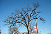 A very large old tree that was saved when a large parking lot was built on the UCM campus.  It grows through the asphalt with no apparent harm.