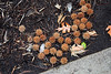 Univ. of Central Missouri Sweet gum balls fallen by the sidewalk outside the Administration building.