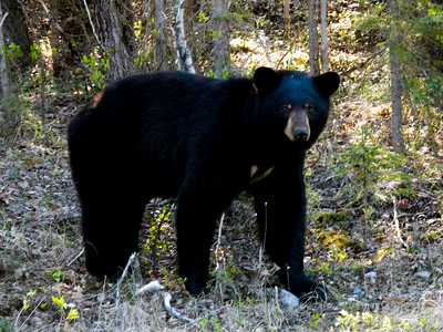 Muncho Lake Black Bear, British Columbia, Canada